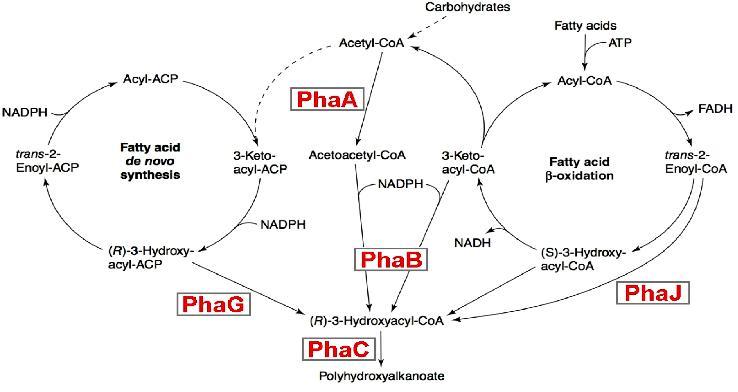 In figura sono illustrate le tappe biosintetiche per la sintesi del PHB; il phaA è l'enzima chetiotiolasi, phaB è acetoacetilCoa reduttasi e phaC è la PHB sintetasi. Si noti la competizione dell'acetil-Coa con il ciclo di Krebs
