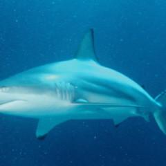 Uno squalo in un bicchier d'acqua