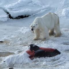 Orsi Polari e clima che cambia, dissonanza cognitiva e diete innovative