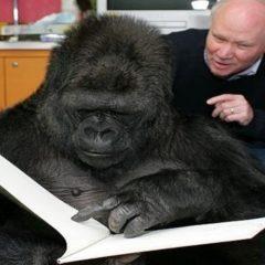 Silenzio, parla Koko.
