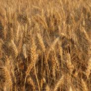 La dissonanza cognitiva dei chicchi di grano